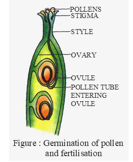 Germination of pollen