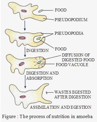 Process of nutrition in amoeba