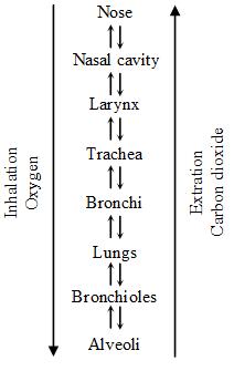 Respiratory System of Human