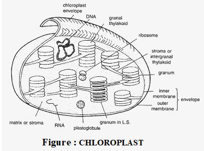 choloroplast