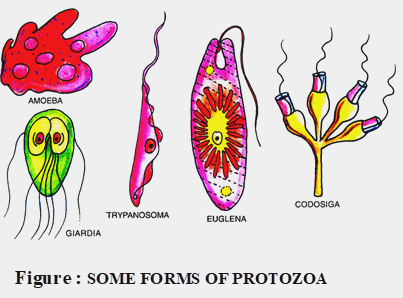 forms of protozoa