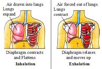 mechanism of breathing