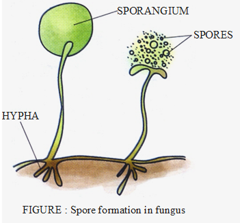 spore formation in fungus